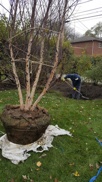 Tree Planting - Pacocha Landscaping Services