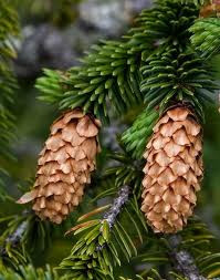 Pacocha - Spruce with cones
