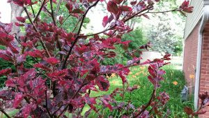 Pacocha - Tri Color Beech Tree Leaf Close Up