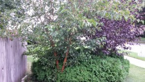 Pacocha - Mulberry Growing Within Low Growing Arborvitaes