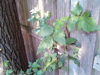 Poison Ivy Identified and Treated - Pacocha Landscaping Services