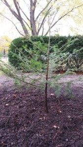 Pacocha - Northern Wisconsin Transplanted Fir