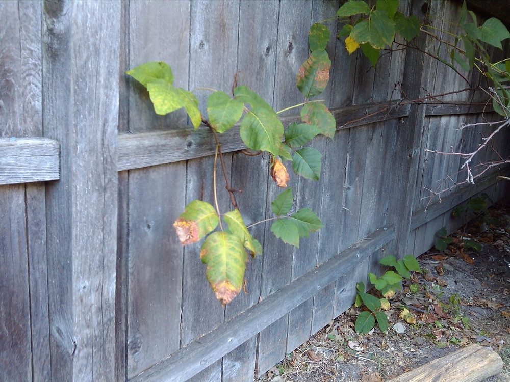 Poison Ivy growing within AND through a back yard shed has now grown into a neighbors yard through a wood fence (4 of 4)