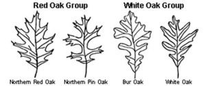 pacocha-red-and-white-oak-tree-groups
