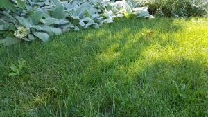 Pacocha - Multiple Thistle Growing in Lawn