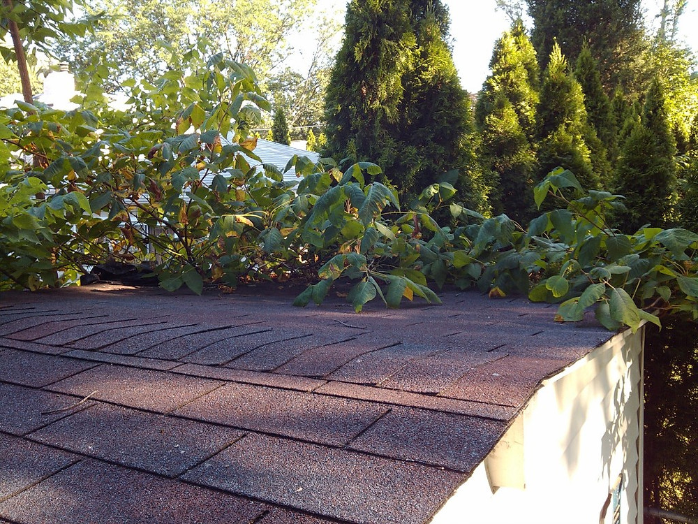 Poison Ivy growing atop the roof of a back yard shed (3 of 4)