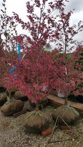 Pacocha - Tri Color Beech Trees at Nursery