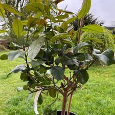Lemon Plant.JPG