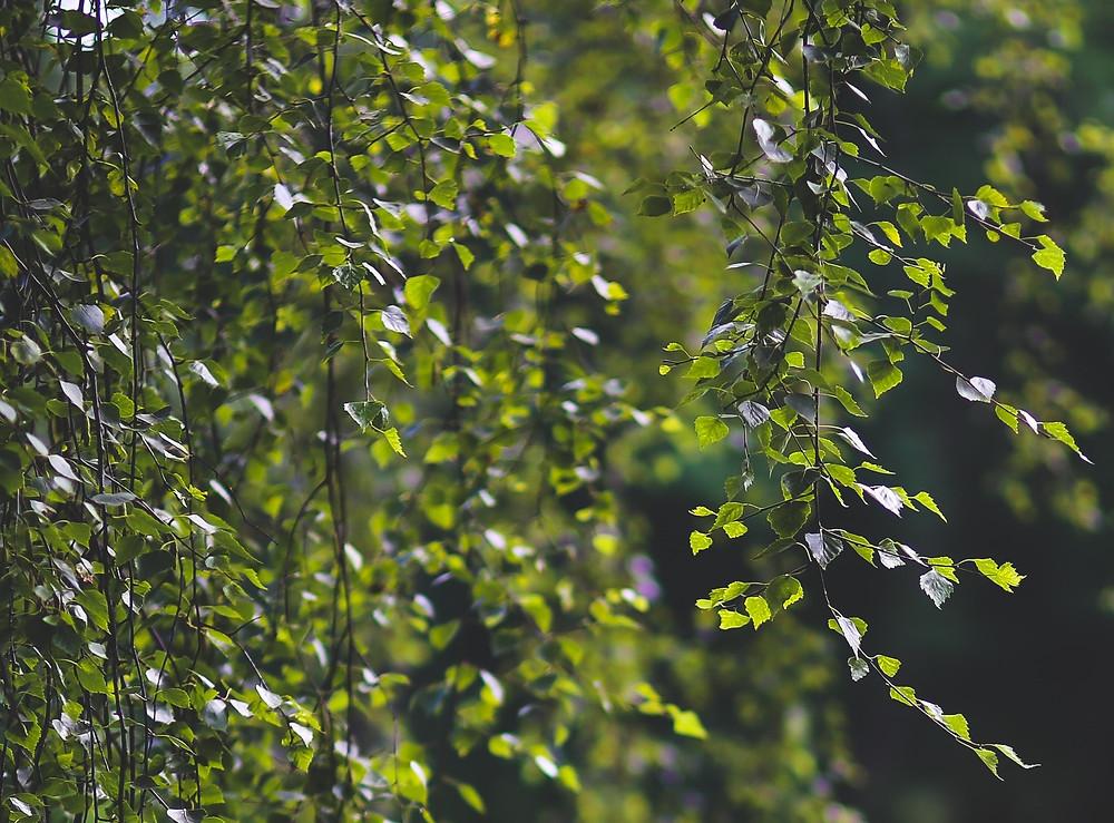 Die wertvolle Birke in meinem Wald