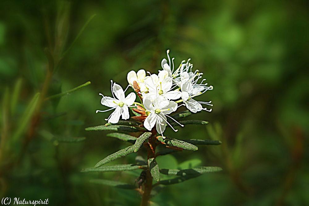 der aromatisch riechende Sumpfporst, fotografiert im Naturpark Hochmoor Unterwasserreich Schrems