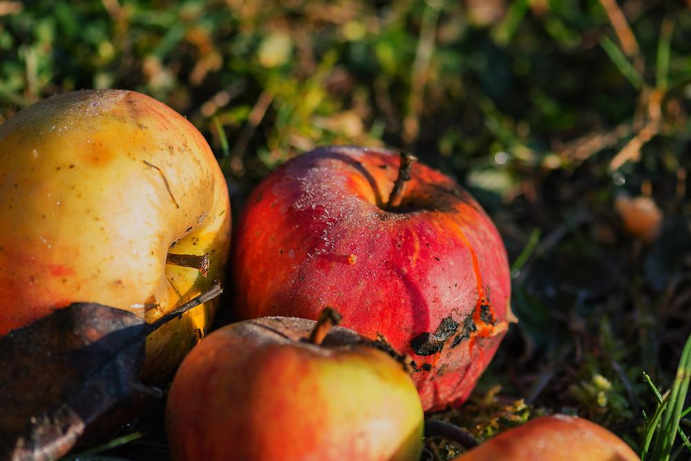 Wertvolles Obst, das heute oft liegen gelassen wird