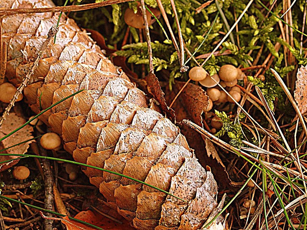 ein wohlschmeckender Pilz der auf Fichtenzapfen wächst