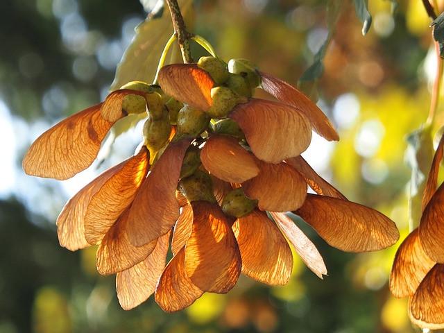 Wohlschmeckende Lindenkapseln im Herbst