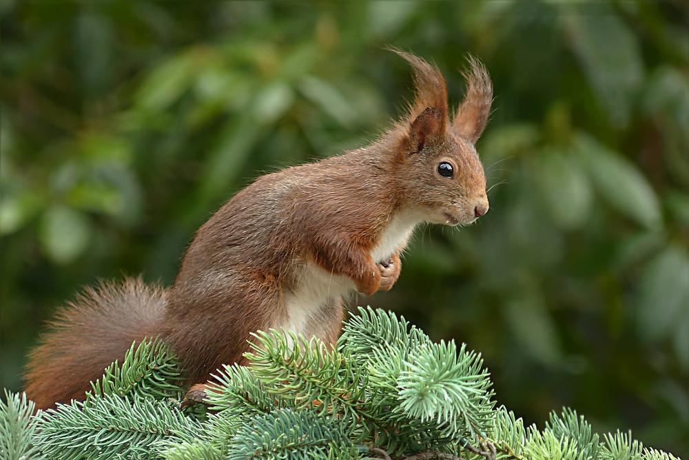 Eichhörnchen halten Winterruhe