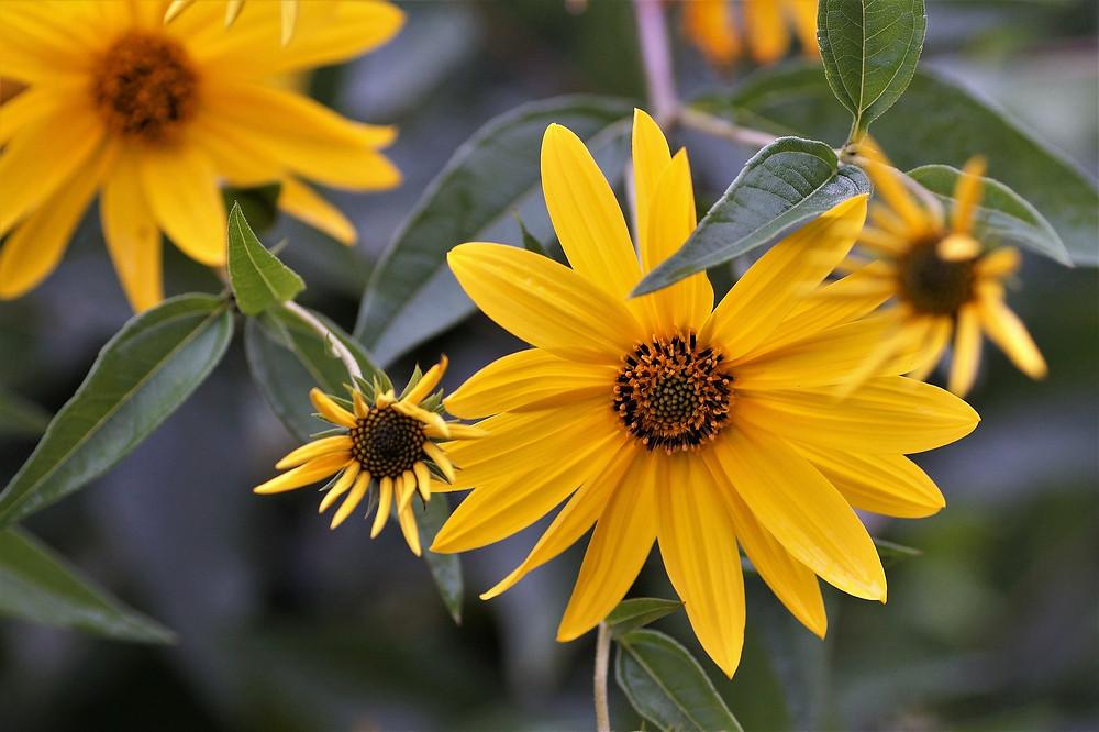 Wie eine schöne Sonnenblume blüht sie