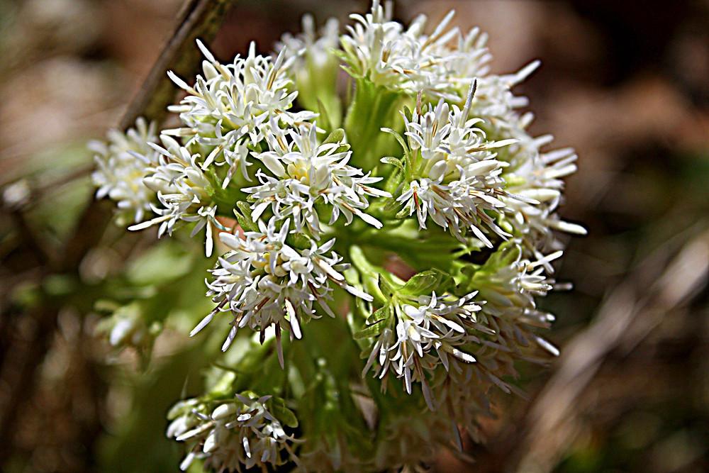Die wunderschöne Blüte der Pestwurz im Frühling