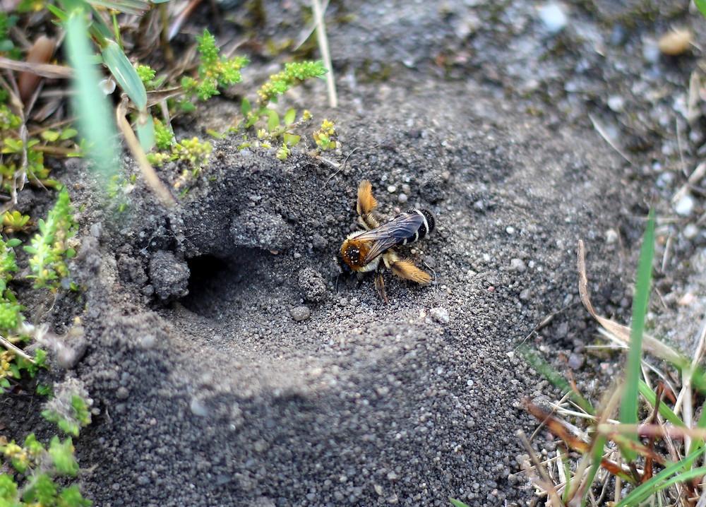 Hosenbiene auch in Europa heimisch