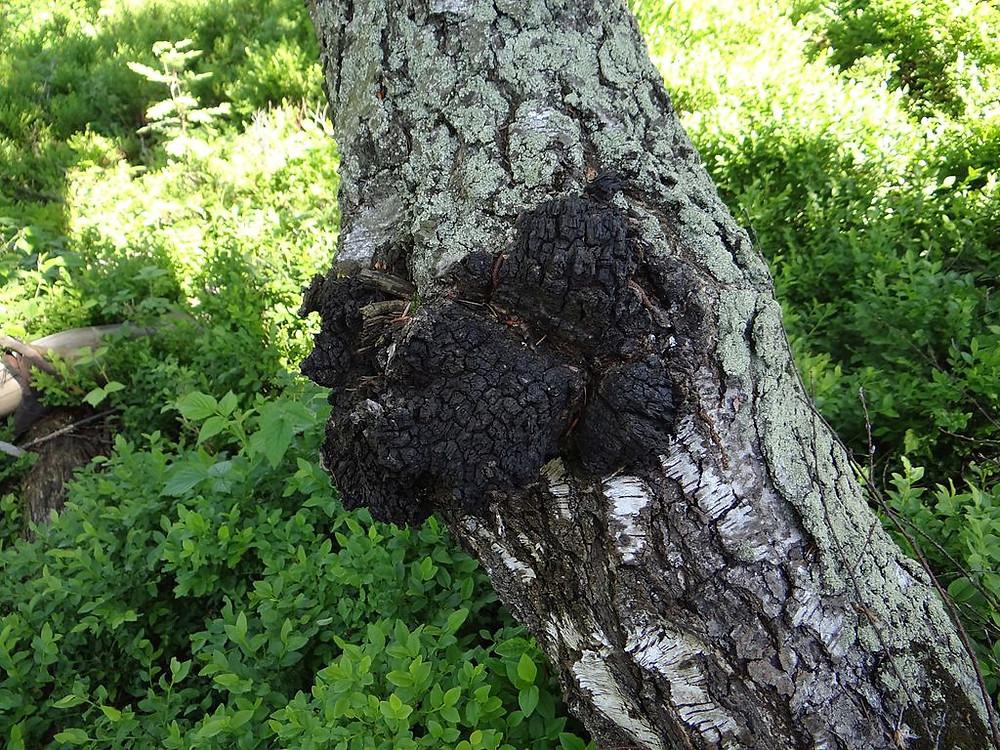 Der Pilz lebt in Symbiose mit der Birke Jerzy Opiola (CC)