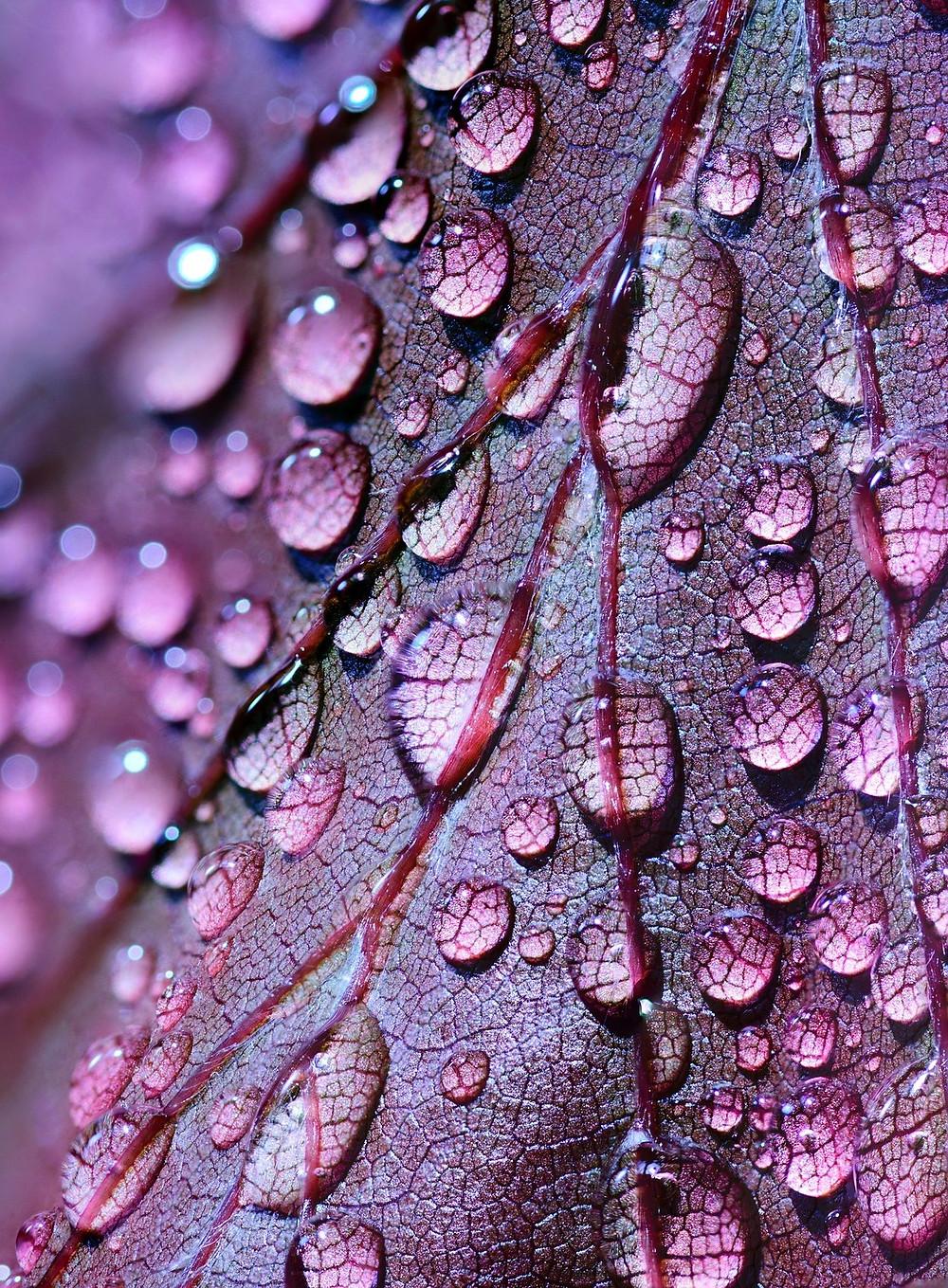 Ein violett gefärbtes Herbstblatt