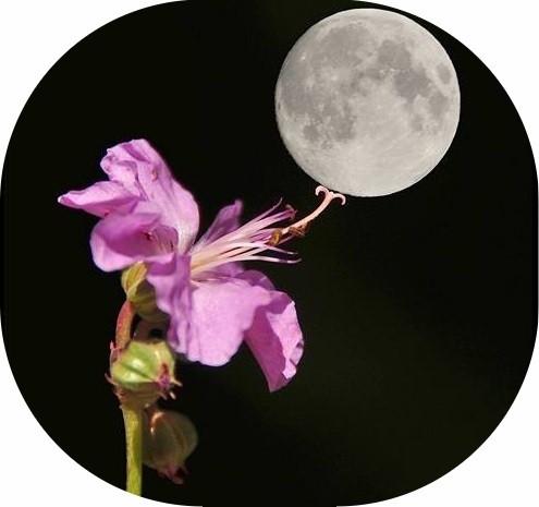 Vollmond und Blume