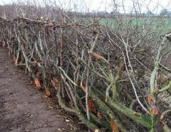 hedgelaying ian layfield yorkshire 1