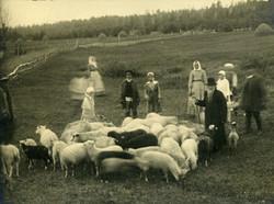 Коммуна разводит овец