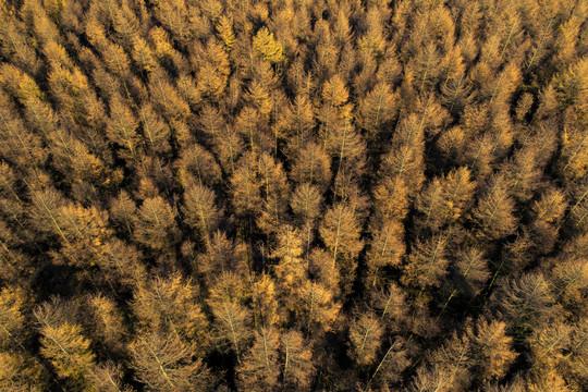 Autumn Larch trees