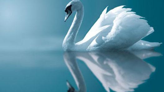 White-Swan-white-29861162-452-312.jpg