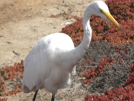 A Walk with the Animals of Bolsa Chica Wetlands