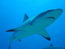 plongée requin