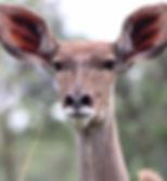 kudu female.jpg