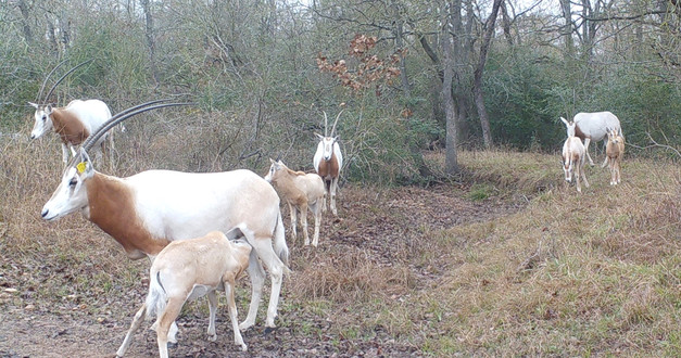 scimitar horned orxy herd.jpg