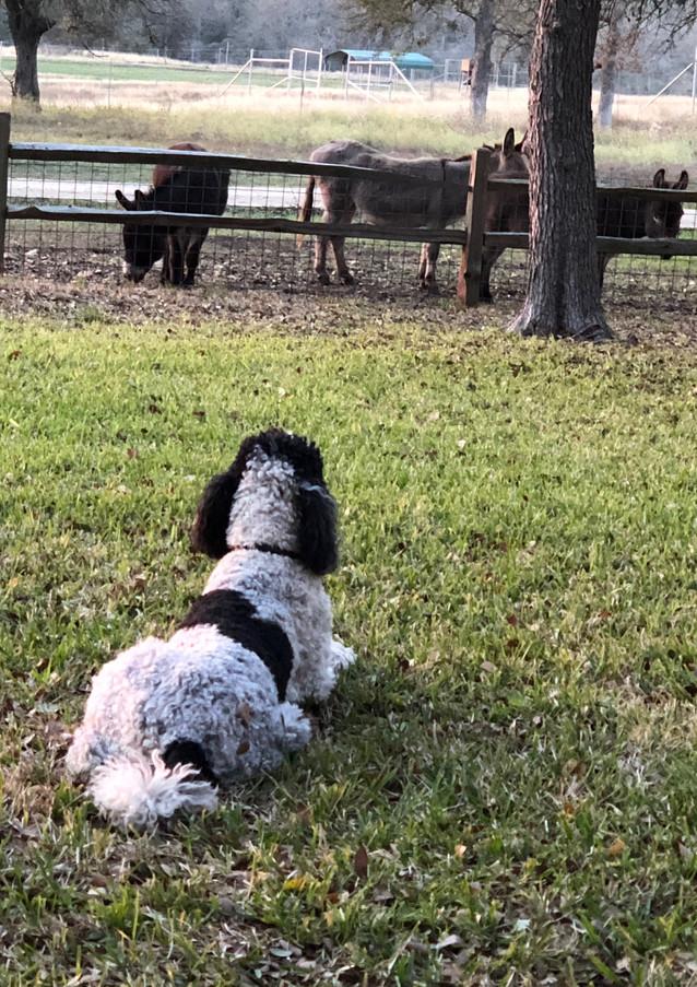 Dog watching Donkeys