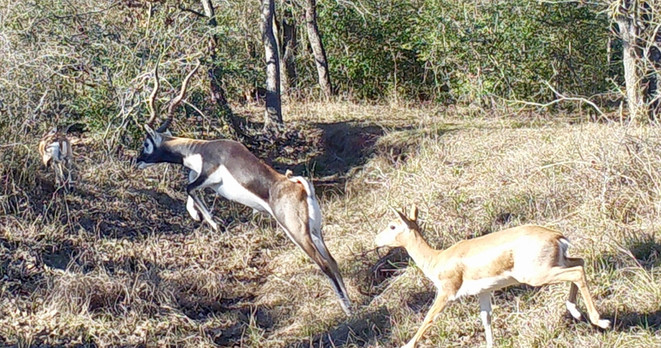 Blackbuck jumping_edited.jpg