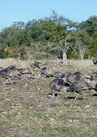 Turkeys on the loose