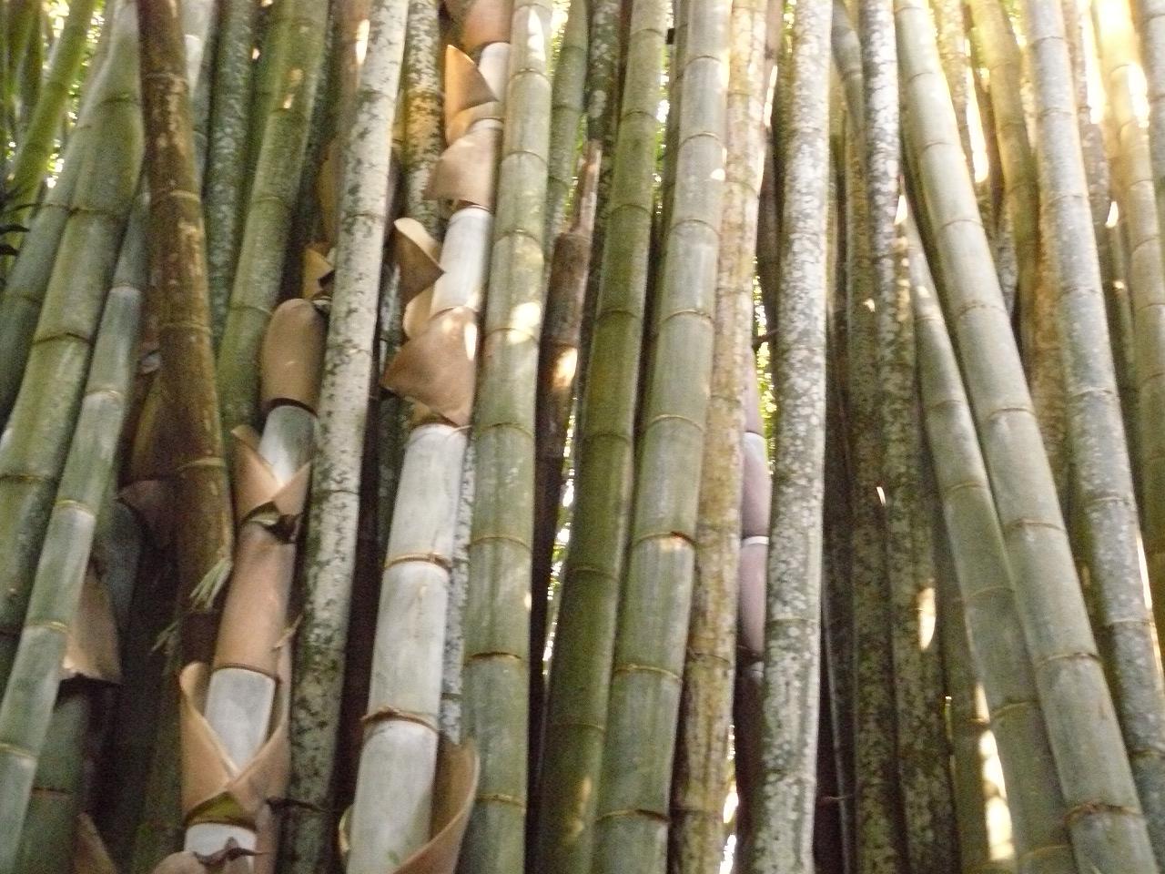 Mayotte_Combani_Bamboo_Géants_33