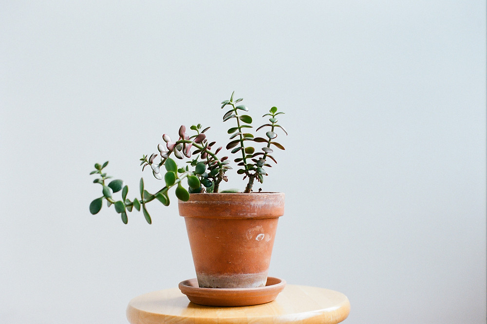 Still life of a plant on portra 400 film.