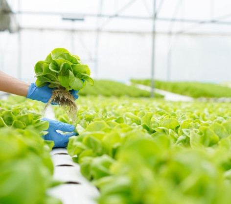 Greens and vegetables grown year-round in Hydroponics