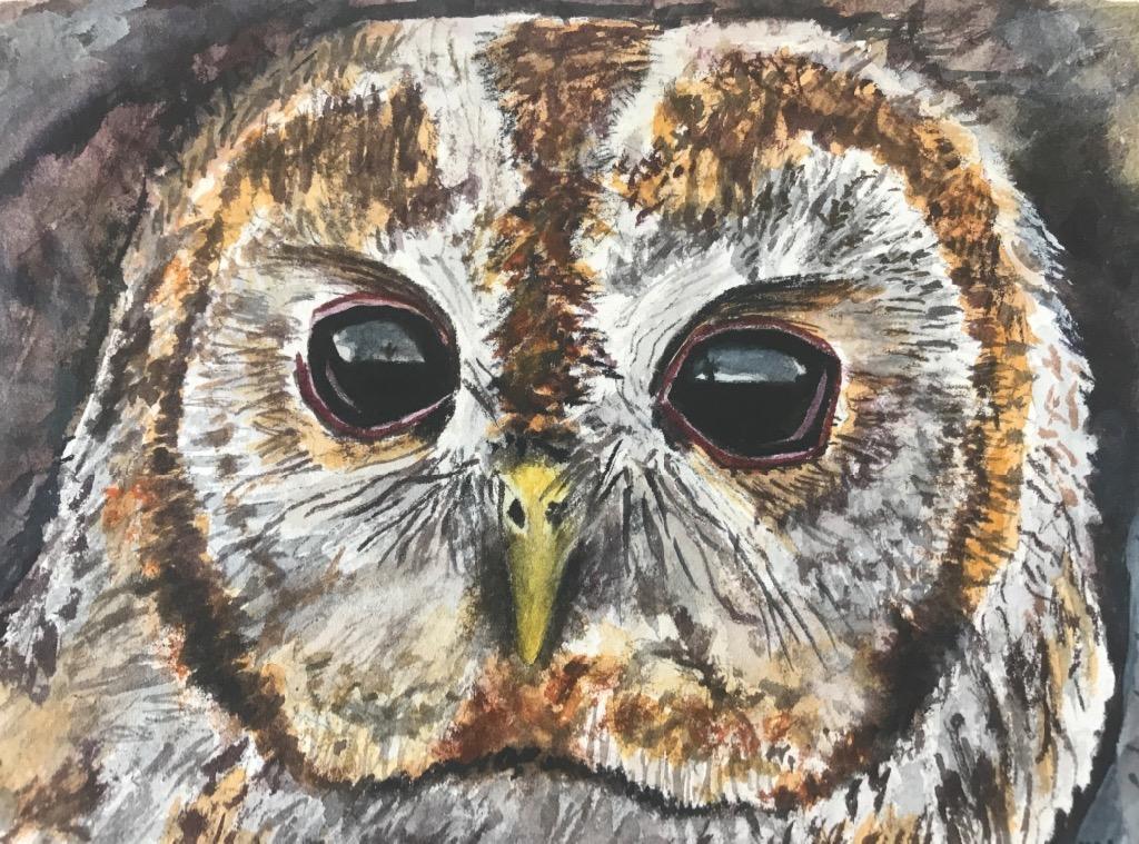 Barred Owl - Sisk