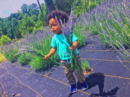 Lavandula officinalis - Lavender