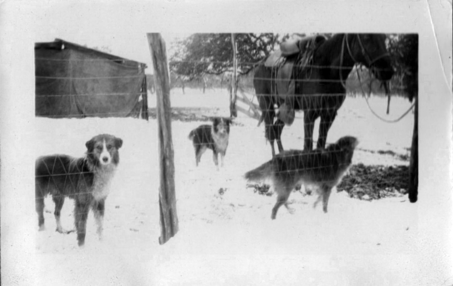 Dogs and horse in snow