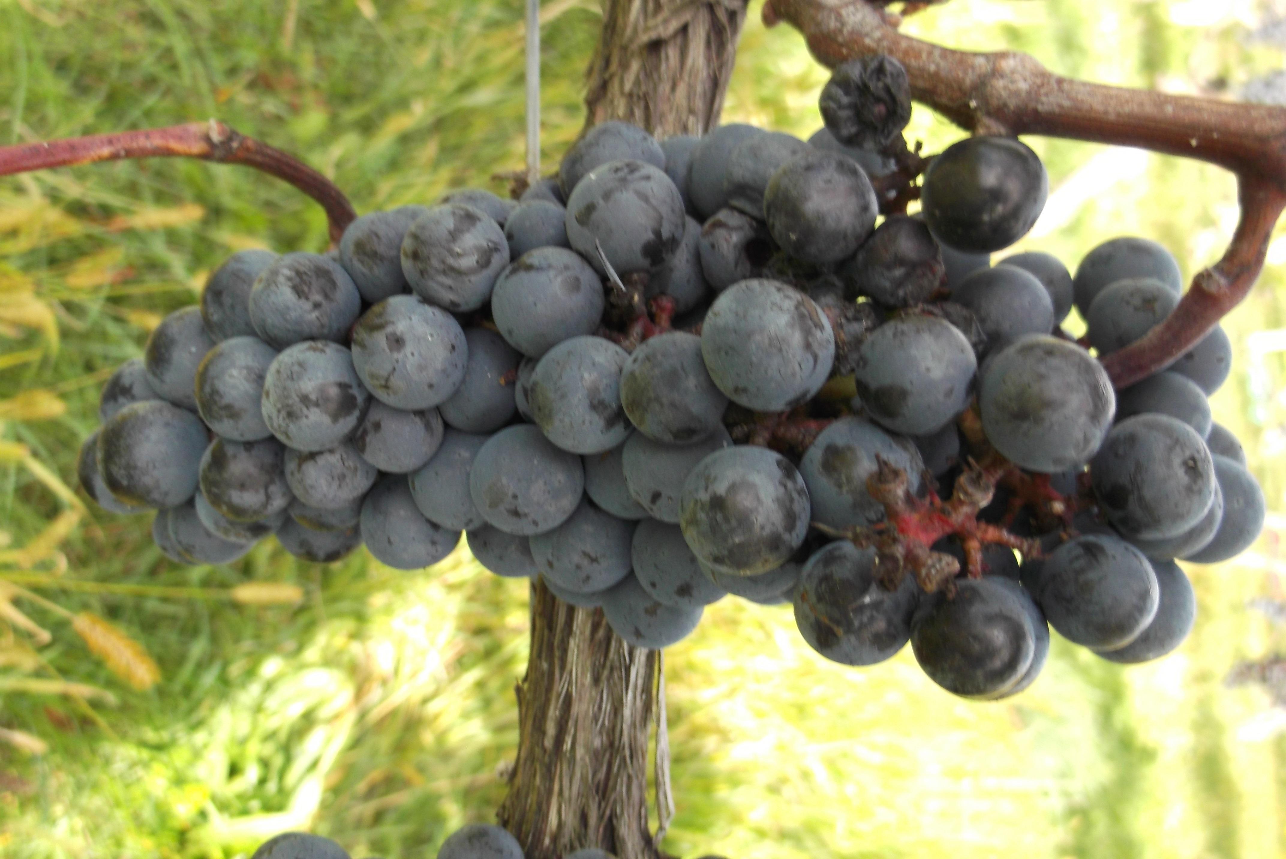 BSI Grapes