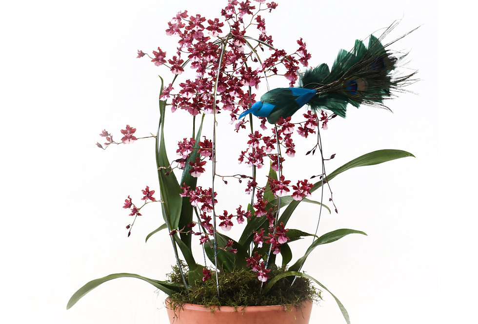 Fulô Plantada | Orquídia Chocolate