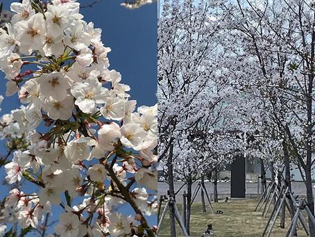 どんな時でも春は来ますね🌸