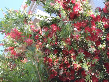 日本だけどオーストラリアの木