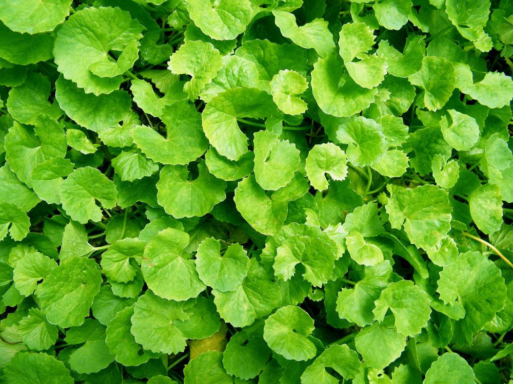 Brahmi Bhooti & Herbs