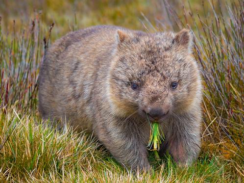 Paul Fleming print wombat