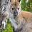 Thumbnail: MAGNET - Bennett's Wallaby