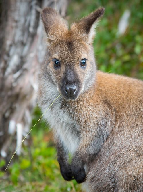 MAGNET - Bennett's Wallaby