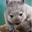 Thumbnail: MAGNET - Baby Wombat 'Maria' at Bonorong Wildlife Sanctuary